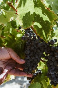Grapes from the Spanish Wine Regions